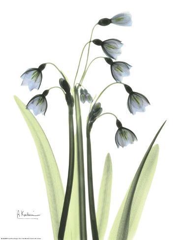 Blue Floral X-ray, Snowdrop Art Print