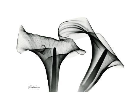 Calla Lily Close Up in Black and White Art Print