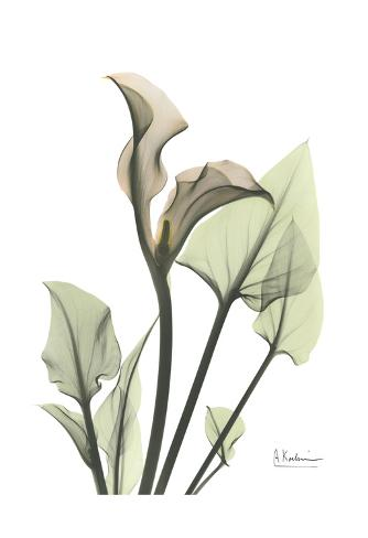 Calla Lily in Green Art Print