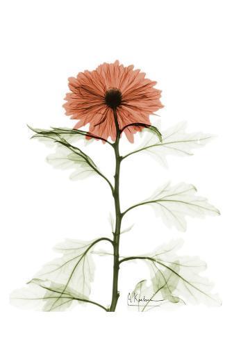 Chrysanthemum For Chrissy Art Print