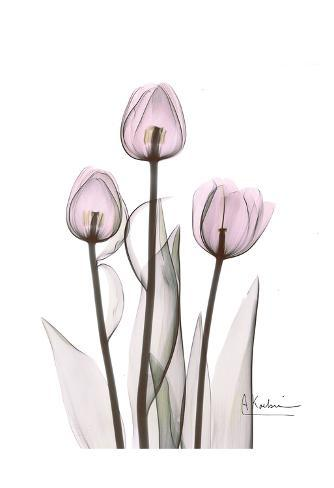 Early Tulips in Lavender Art Print