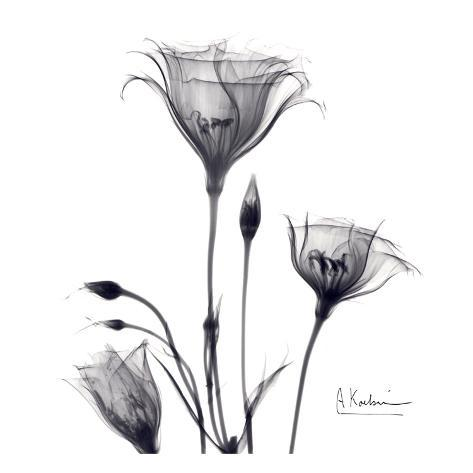 Gentian trio in black and white print
