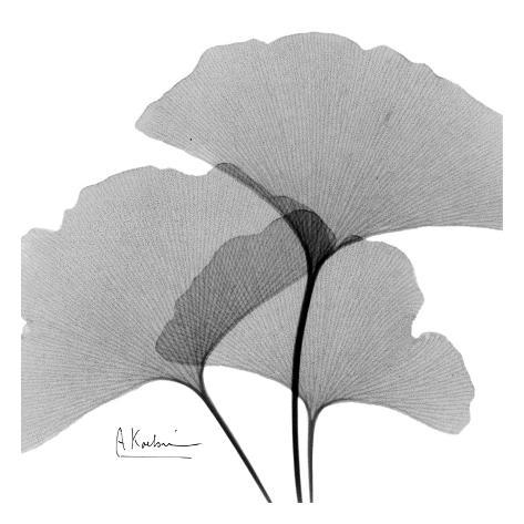 ginkgo leaves trio black and white art by albert koetsier at