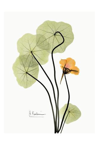 Nasturtium in Yellow Art Print