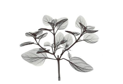 Oregano in Black and White Art Print