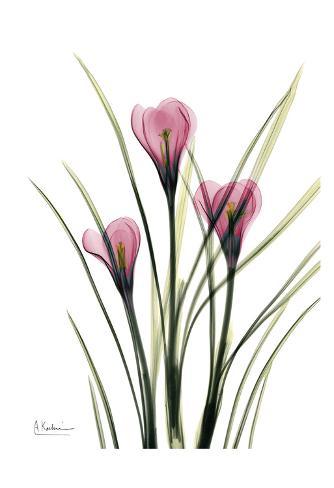 Pink Spring Crocus Art Print
