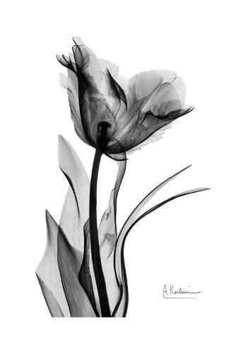 Single Tulip in Black and White Art Print