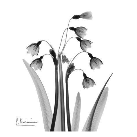 Snowdrop Black and White Art Print