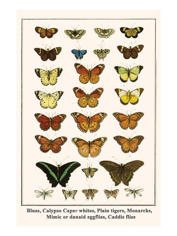Blues, Calypso Caper Whites, Plain Tigers, Monarchs, Mimic or Danaid Eggflies, Caddis Flies Art Print