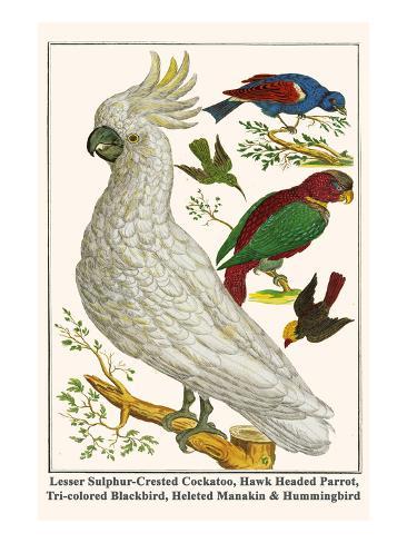 Lesser Sulphur-Crested Cockatoo, Hawk Headed Parrot, Tri-Colored Blackbird, Heleted Manakin, etc. Art Print