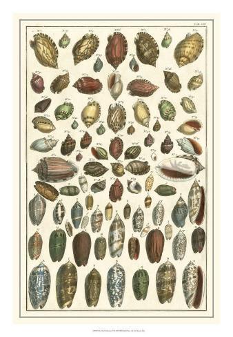 Seba Shell Collection VI Giclee Print