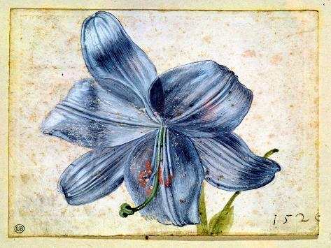 Study of a Lily, 1526 Giclee Print