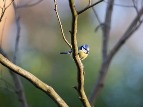 A Blue Tit Rests on a Branch in Richmond Park Impressão fotográfica