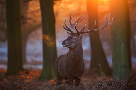 A Large Majestic Red Deer Stag in the Orange Early Morning Glow in Richmond Park Impressão fotográfica