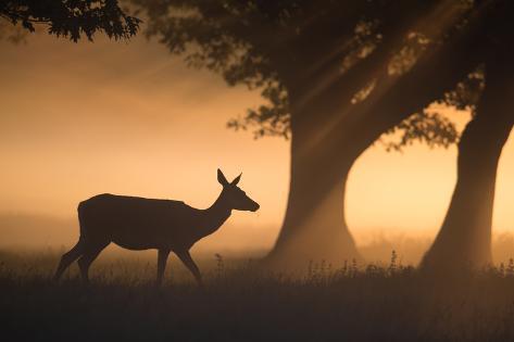 A Red Deer, Cervus Elaphus, Grazes in the Early Morning Mists of Richmond Park Impressão fotográfica