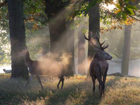 A Red Deer Stag and a Doe Wait in the Early Morning Mists in Richmond Park in Autumn Impressão fotográfica