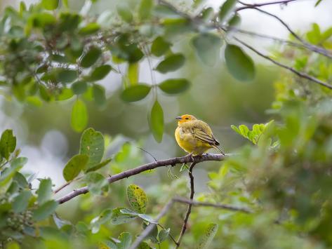 A Saffron Finch, Sicalis Flaveola, Sits on a Branch in Ubatuba, Brazil Impressão fotográfica
