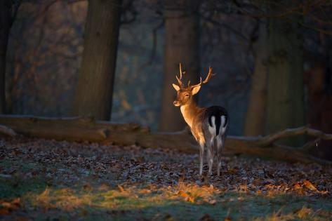 A Young Fallow Deer, Illuminated by the Early Morning Orange Sunrise, Looks Back Impressão fotográfica