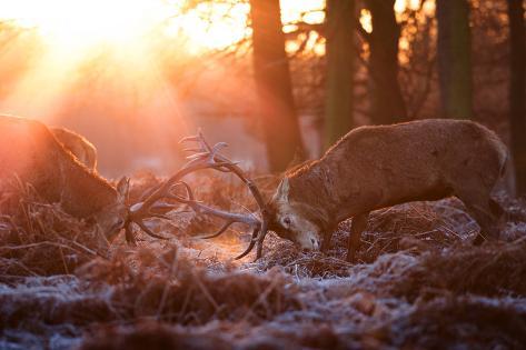 Backlit View of Two Red Deer Stags Battling at Sunrise Impressão fotográfica