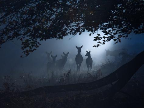 Red Deer, Cervus Elaphus, Gathering on a Misty Morning Impressão fotográfica