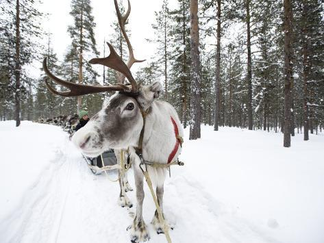 A Reindeer Sled Ride Photographic Print