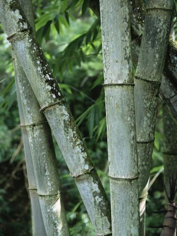 Close up of Stems, Bamboo Forest, Bena Village, Flores Island, Indonesia, Southeast Asia Photographic Print