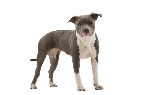 american staffordshire terrier impressão fotográfica na allposters