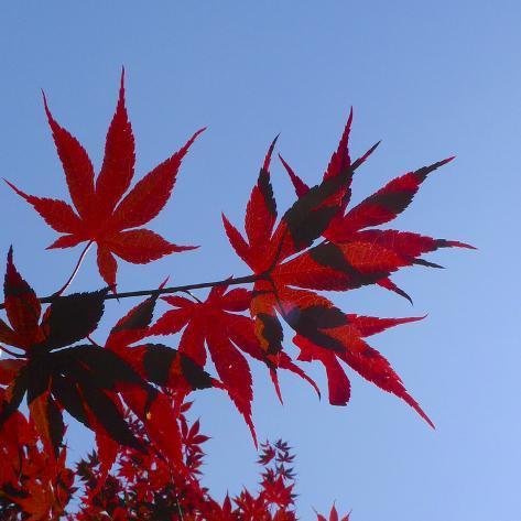 Japanese Maple Leaves, Acer Palmatum, Against a Blue Sky Photographic Print