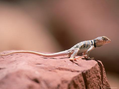 Collared Lizard, Crotaphytus Bicinctores Photographic Print