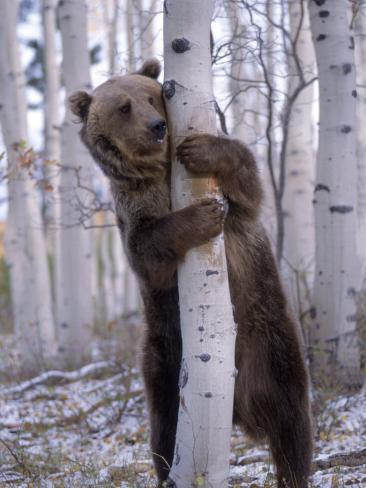 Grizzly Bear Grabbing Tree, North America Photographic Print