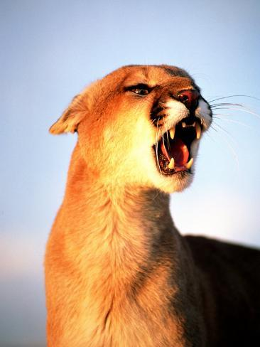 Mountain Lion with Mouth Open, Southwest US Photographic Print
