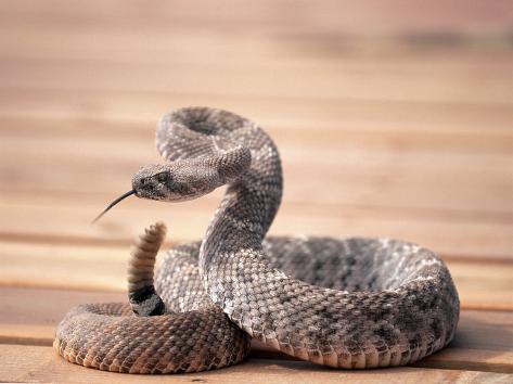 Prairie Rattlesnake (Crotalus Viridis Viridis) Photographic Print