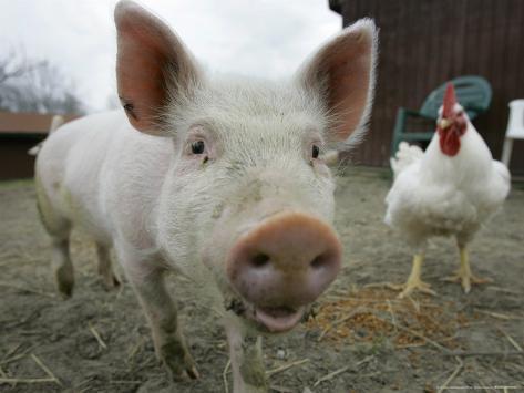 Pigs across America, Ravenna, Ohio Photographic Print