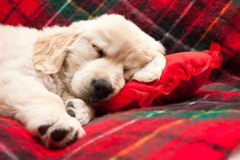 Sleeping Puppy on Plaid Photographic Print
