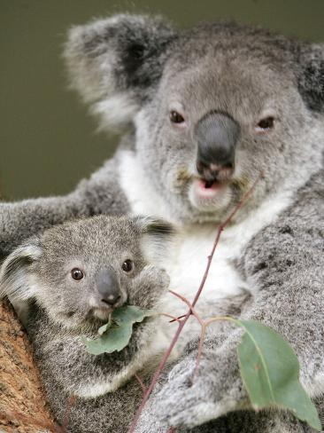 An 8-Month-Old Koala Joey Photographic Print