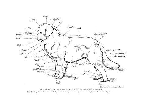 Anatomical Diagram Of A Newfoundland Dog Giclee Print Allposters
