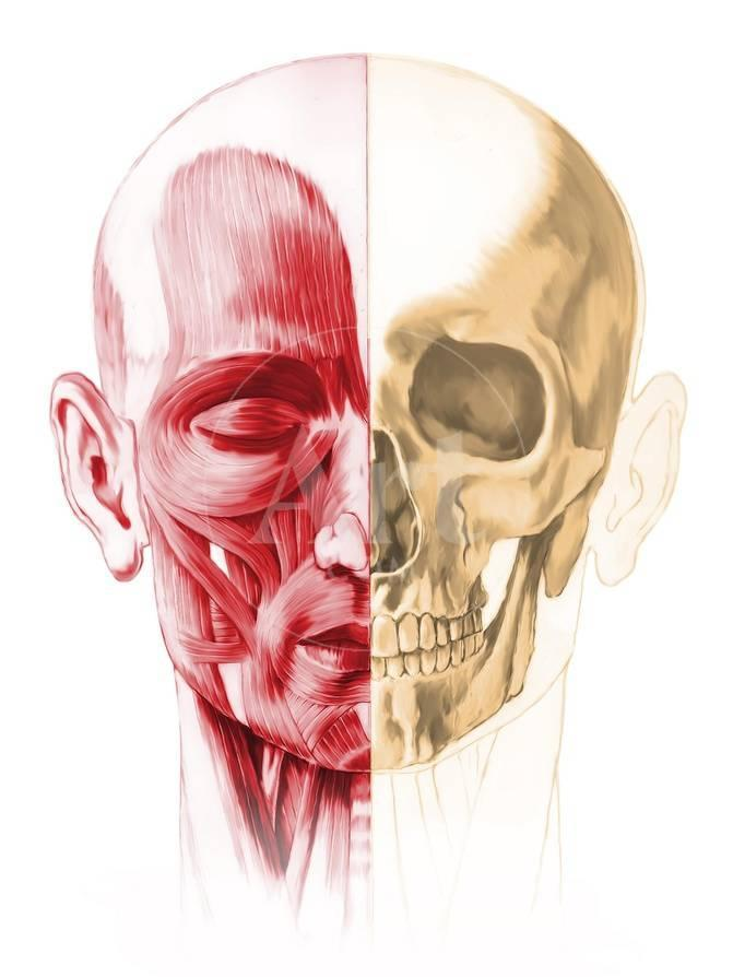 Anatomy Of A Male Human Head With Half Muscles And Half Skull