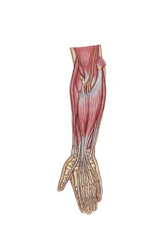 Anatomy of Forearm Muscles, Anterior View, Middle Poster - AllPosters.ca