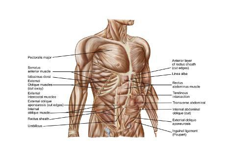 Anatomy of human abdominal muscles posters na allposters anatomy of human abdominal muscles impresso artstica ccuart Gallery