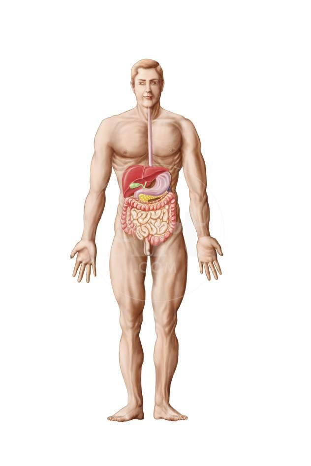 Anatomy Of Human Digestive System Male Representation Prints At
