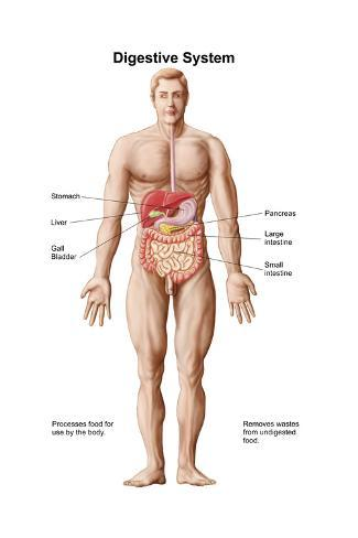 Anatomy of human digestive system male representation prints anatomy of human digestive system male representation ccuart Images