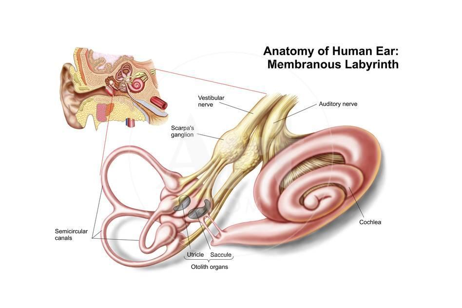 Anatomy Of Human Ear Membranous Labyrinth Prints Allposters