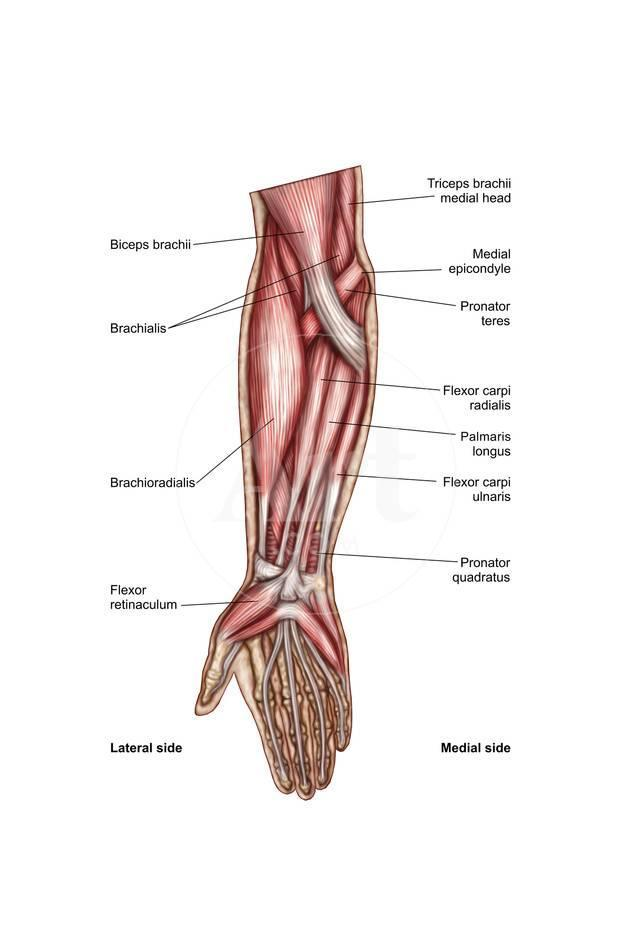 Anatomy Of Human Forearm Muscles Superficial Anterior View Poster