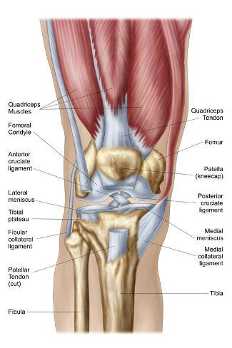 Anatomy of human knee joint psters na allposters anatomy of human knee joint impresso artstica ccuart Images