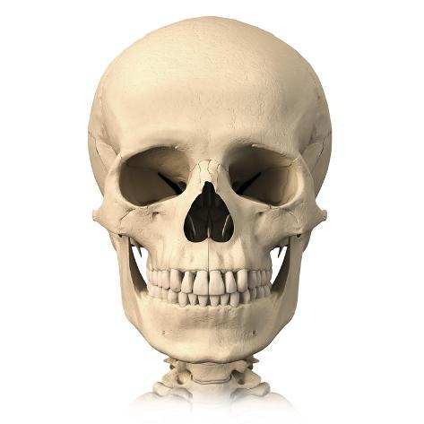 Anatomy of Human Skull, Front View Posters - AllPosters.ca
