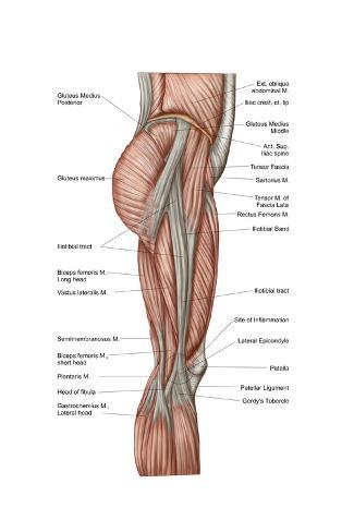 Anatomy of human thigh muscles anterior view posters na allposters anatomy of human thigh muscles anterior view impresso artstica ccuart Gallery