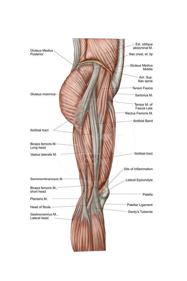 Anatomy of Human Thigh Muscles, Anterior View Prints - at AllPosters ...
