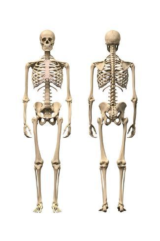 Anatomy of Male Human Skeleton, Front View and Back View Posters ...