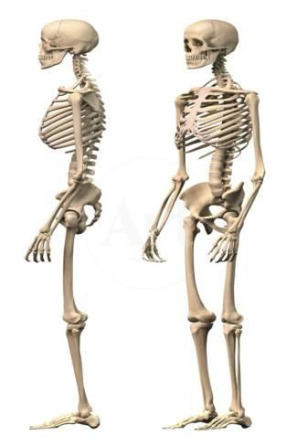 anatomy of male human skeleton, side view and perspective view, Skeleton