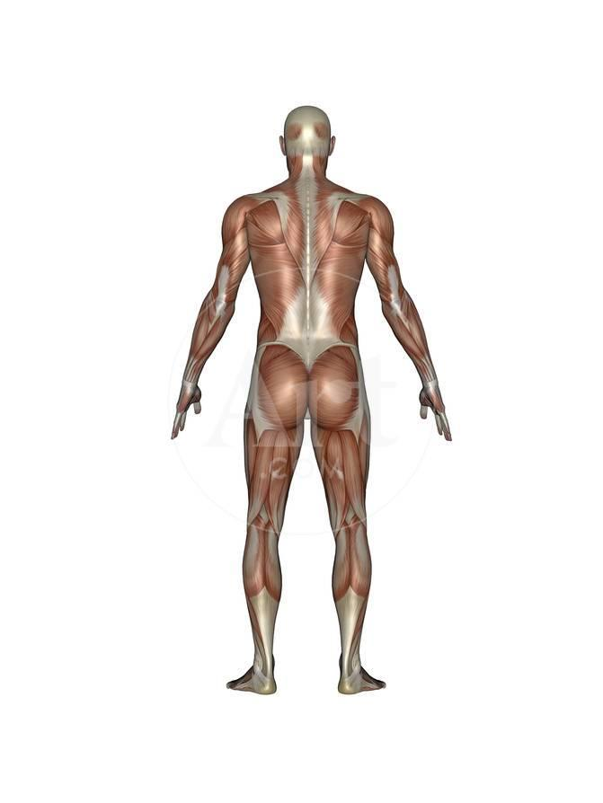 Anatomy Of Male Muscular System Back View Art At Allposters